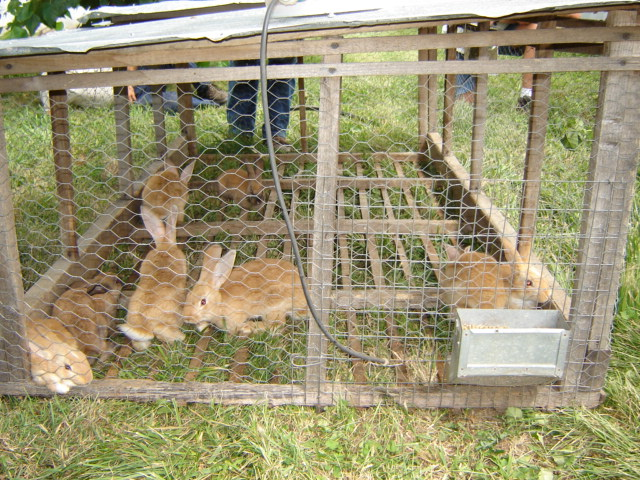 Forage-Based Rabbits   Polyface Farms